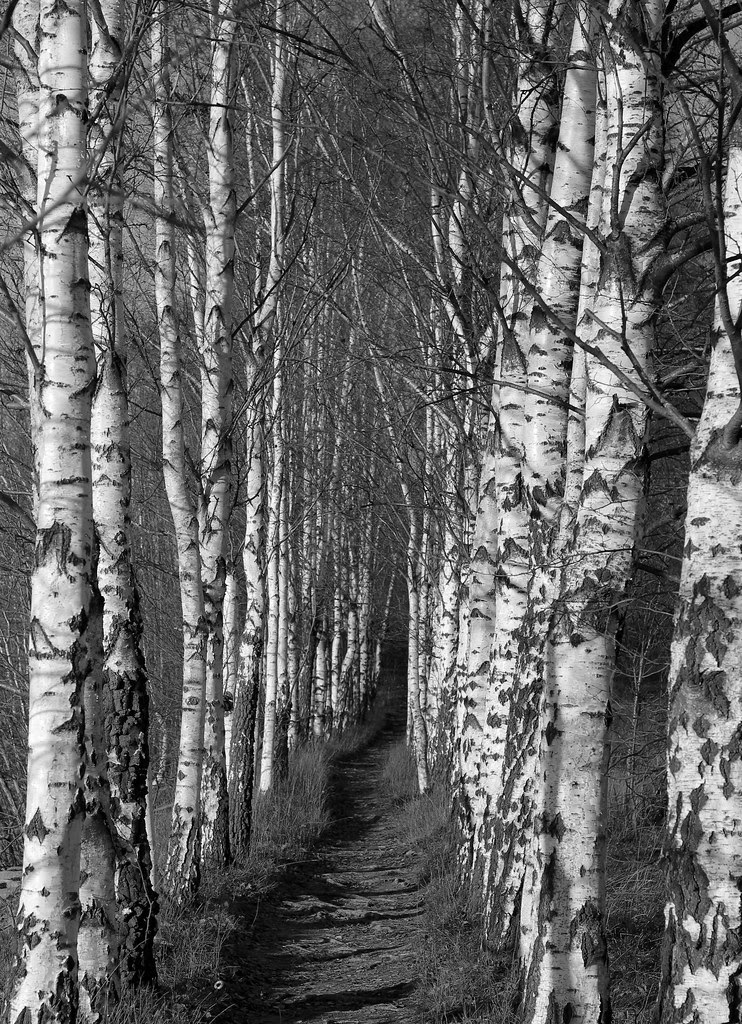 The Birch Allée