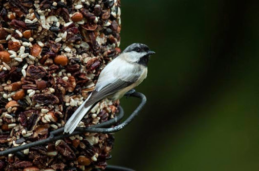 Back to Bird Feeding - Birds and Blooms