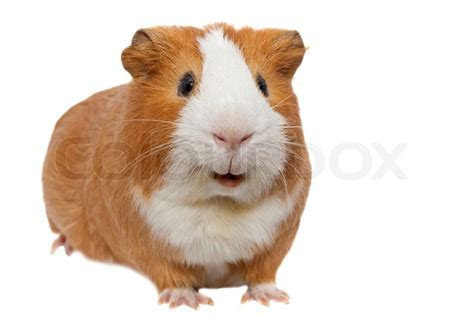 Red guinea pig isolated on white   Stock Photo   Colourbox