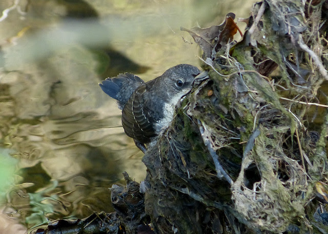 27290 - Dipper, River Dulais