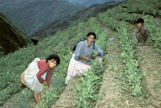 Coca growers Bolivia