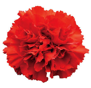 Buy Select Red Carnation Flower