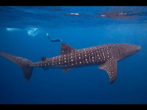 66+ Gambar Ikan Hiu Dan Paus Terbesar Terbaik