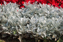How To Grow Dusty Miller Plants Growing Dusty Miller Seeds