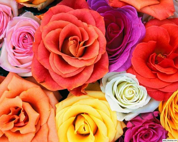 Resultado de imagem para rosas diversas cores