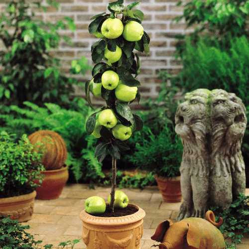 http://www.gardenoasis.co.uk/images/Flora_Direct/Fruit/Dwarf_Golden_Apple_Tree.jpg
