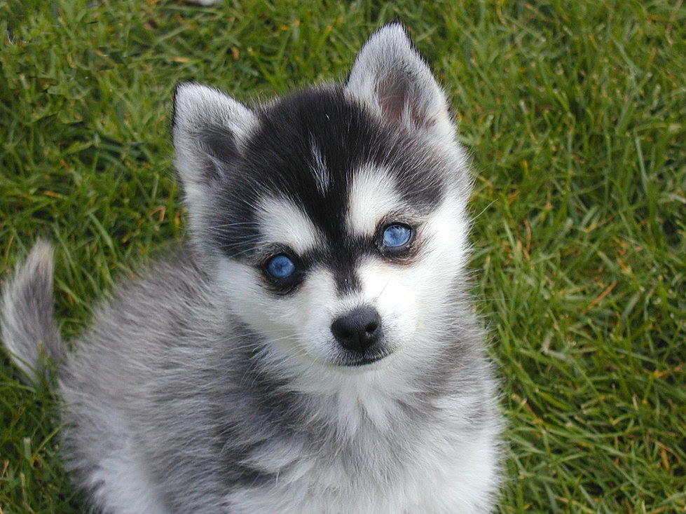 Alaskan Klee Kai Association of America Breed Club
