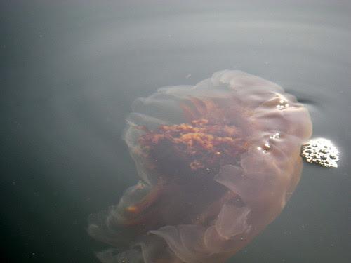 red jellyfish