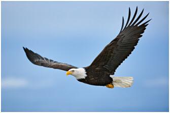96  Gambar Burung Elang Lg Terbang HD Paling Bagus