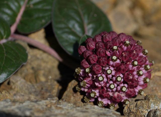 serpentine milkweed