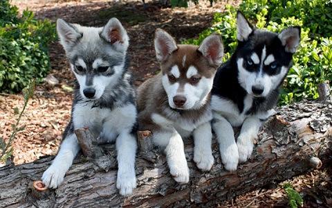 Alaskan Klee Kai  Alaskan Klee Kai dog  Klee Kai \/xopark.com