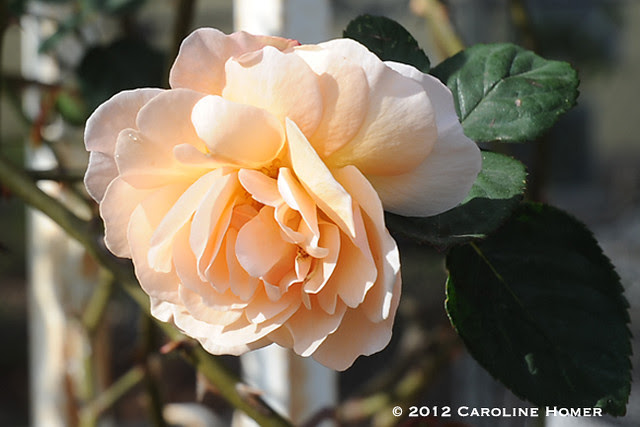 'Buff Beauty' rose