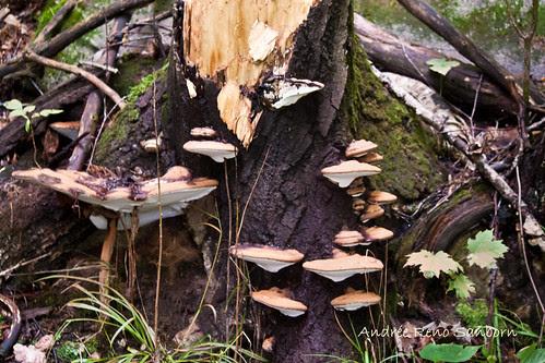 Artist's Fungus (Ganoderma applanatum)-1.jpg