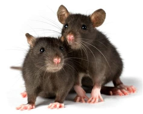 How to get rid of rats with rat poison and traps   Pest Control Supermarket