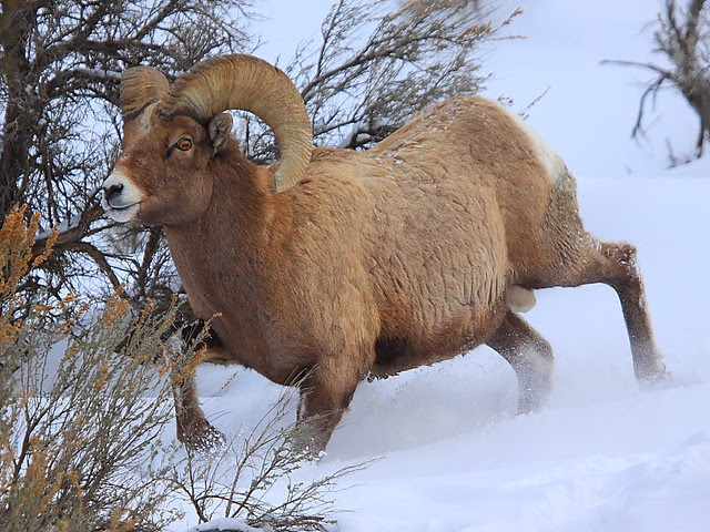 IMG_5129 Bighorn Sheep Ram, Yellowstone National Park