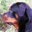 Rottweiler Puppies For Sale | Coalfire Rottweiler Breeders QLD, AU