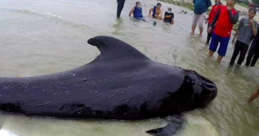 Whale Found In Thailand Dies From Eating Over 80 Plastic Bags | The EcoPlum Daily