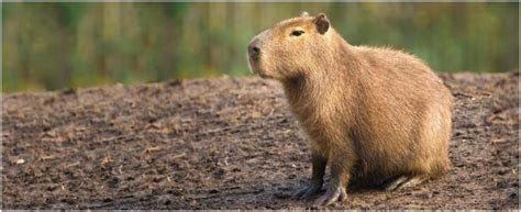 Capybara   Facts, Pictures, Pet, Diet, Information, Appearance, Habitat   Animals Adda