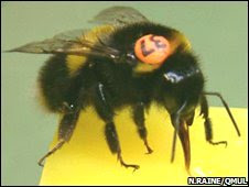 Bee (Nigel Raine/QMUL)