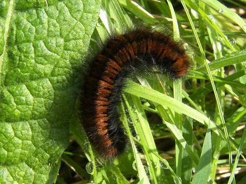 11439 - Fox Moth Caterpillar