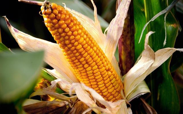 El maíz transgénico MON-810 es el único producto genéticamente modificado cuyo cultivo comercial está permitido en la UE. España acapara la mayor parte. AFP