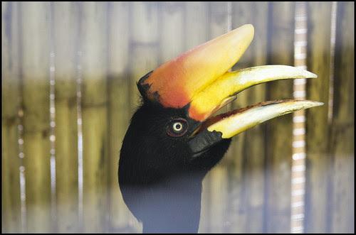 Hornbill at the Phuket Bird Park