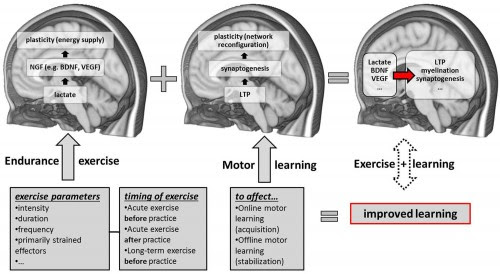 "Taubert, Marco, Arno Villringer, and Nico Lehmann. ""Endurance Exercise as an ""Endogenous"" Neuro-enhancement Strategy to Facilitate Motor Learning."" Frontiers in Human Neuroscience Front. Hum. Neurosci. 9 (2015): n. pag. Web."