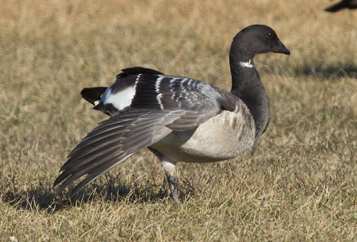Brant at Park Point