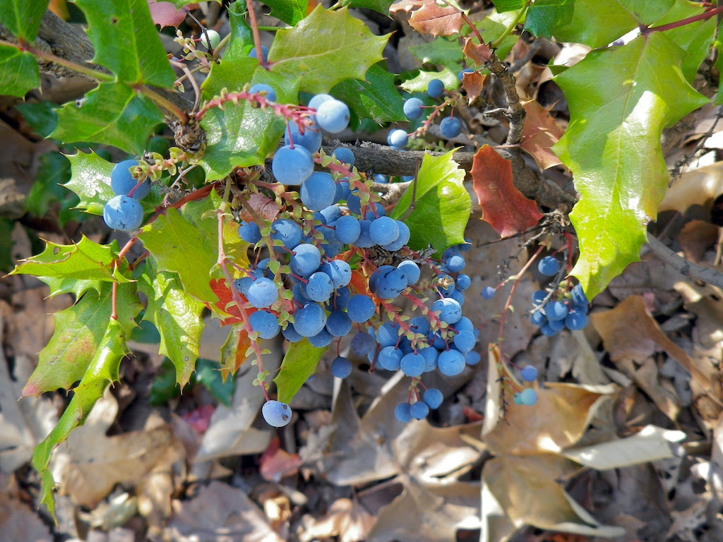 Oregon_Grape_Berberine_Jeffrey_Dach_MD