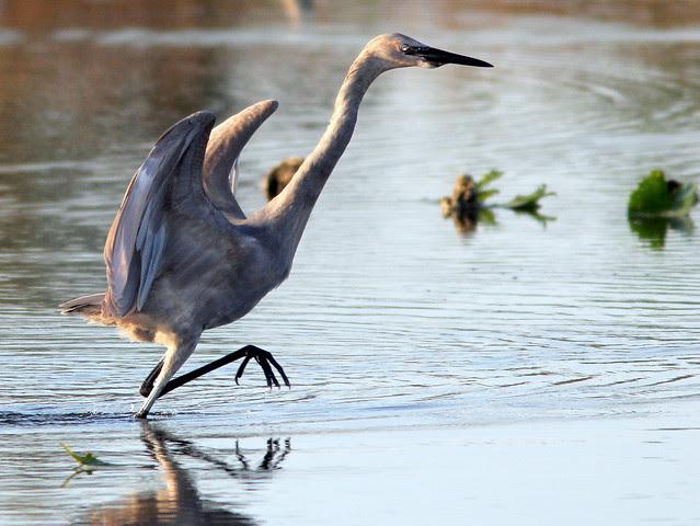 Reddish Egret dance 4-20110408