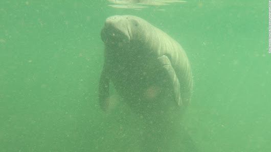 Manatee deaths in Florida surpass last year's death toll - CNN