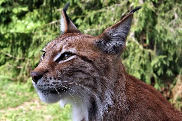 L'oeil de lynx
