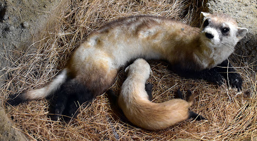 Treasures from Our West: Black-footed Ferret Specimen