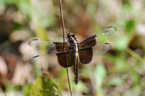 Black-Tailed Skimmer by (chris-gill)