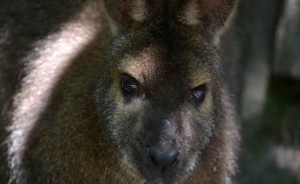 Aj F Pt England School Wallaby Are In Control