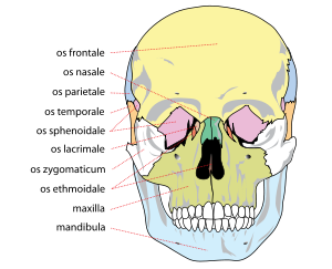 the adult skull is normally made up of 22 bone...