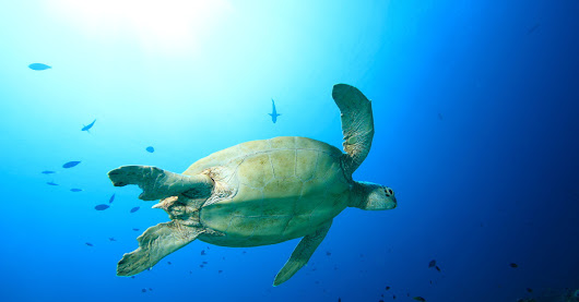 'Green Sea Turtle at Barracuda Point, Sipadan Island - Malaysia.' - Taken during a scuba dive in Barracuda Point, Palau Sipadan Marine Reserve, Malaysia by Mikel