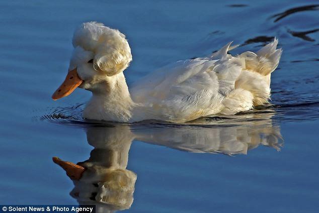 marilyn duck