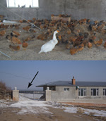 Thumbnail of Internal (top) and external views of the warehouse where poultry were housed on the farm of the case-patient who had confirmed influenza A(H7N9) virus infection in February 2014 in Jilin Province, China. Arrow indicates location of the chicken warehouse.