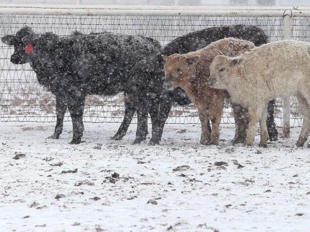 Cattle in Blizzard