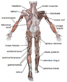Muscles Labeled Front And Back : 11 best Muscles/Labeled images on Pinterest | Physical ...
