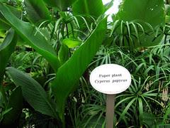 Paper Plant - Cyperus Papyrus