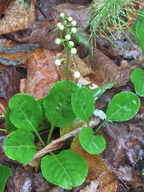 shinleaf leaves