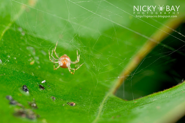 Comb-Footed Spider (Theridiidae) - DSC_0641