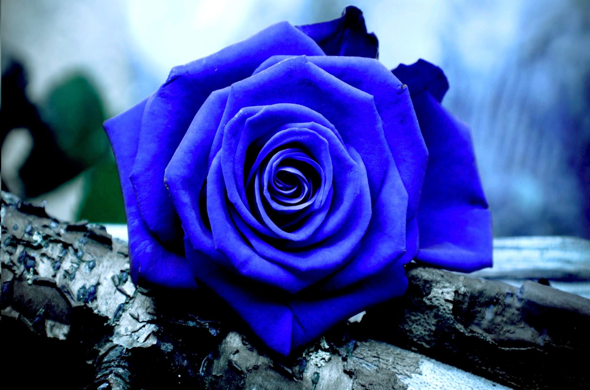Blue Roses Wallpaper 58 Images
