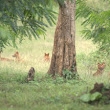 Pack of Wild Dogs (Dhole) on a Hunt |