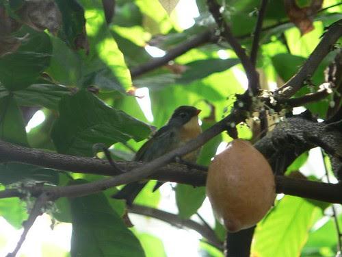 Bird and Cocoa Pod