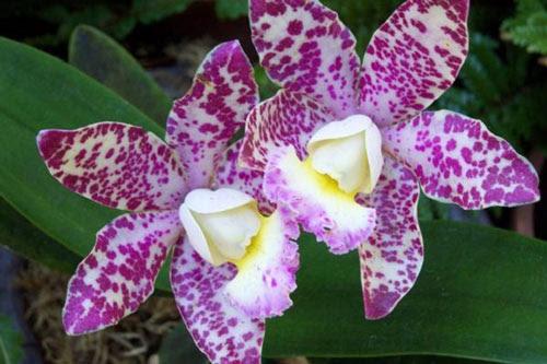 Gambar Bunga Anggrek Ungu Putih Cantik By Himevitta On Deviantart