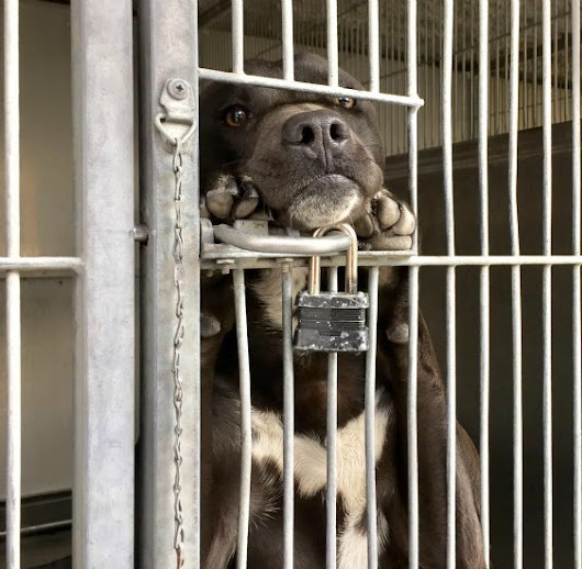 Puppy stands and watches all day from shelter kennel cage • Pet Rescue Report