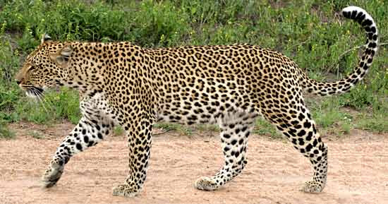 Leopard Information Interesting Facts About Leopards Including